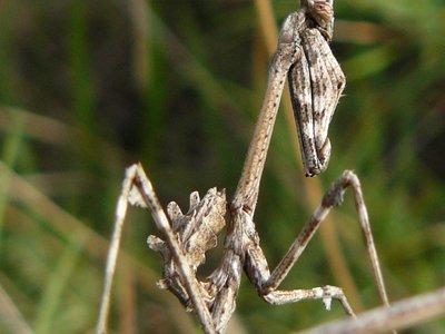 Cone-head mantis2