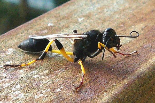 Thread-waisted wasp grooming