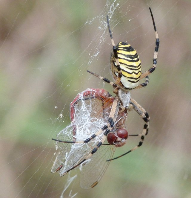 Wasp spider catches dragonfly