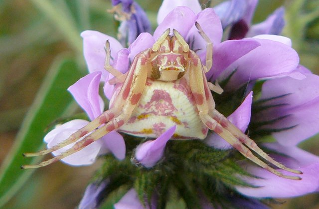 Heather crab spider hiding in flower